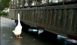 这个场景又让我想起那两只鹅的故事!!!
