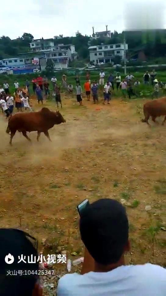 打跑视屏_贵州斗牛大赛,最厉害的牛王被对手打跑了,众人欢呼一片叫好