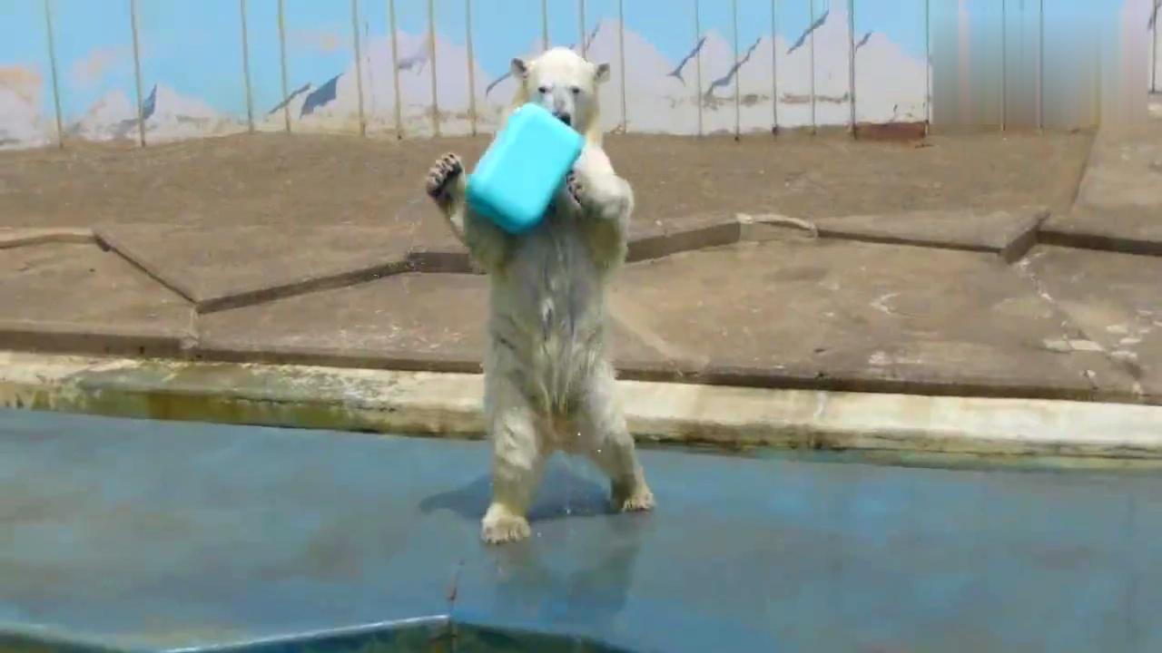 北极熊表演秀!动物园自学一身搞怪本领,太可爱了