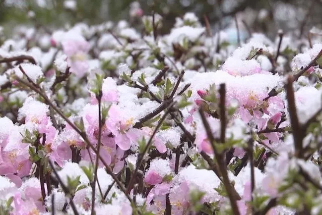 河北万全四月飞雪,无冤屈!只是冬雪和春花开了一个玩笑