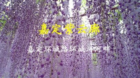 欣赏嘉定紫藤花的第二去处——嘉定环城路的紫云廊