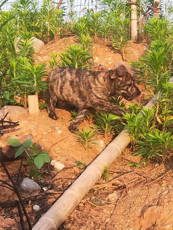 """虎斑犬下山了,准备去寻找""""猎物"""",它长得太好看了!"""