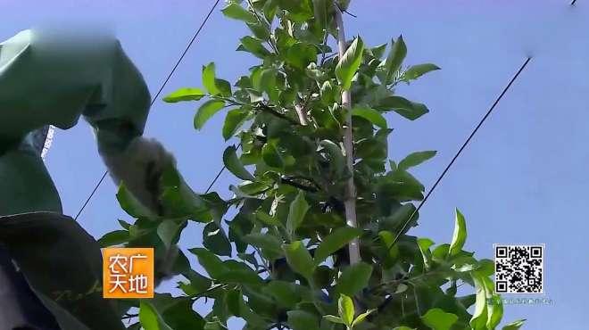 农广天地:苹果三优一体化栽培模式,苹果树如何开张拉枝?