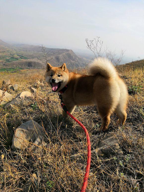 柴犬刚四个月网友就带它出来了,爬山时它体力还挺不错的!