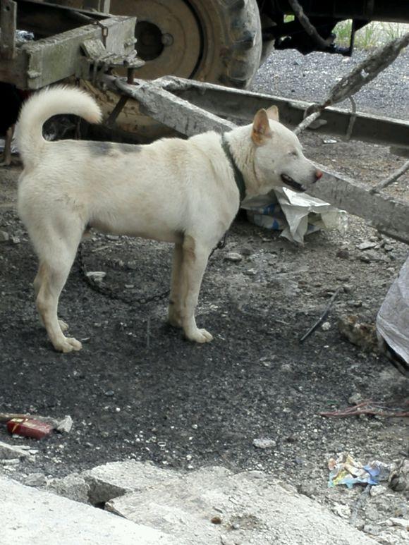 两只土狗分工明确,白狗负责看车,黑狗负责看门