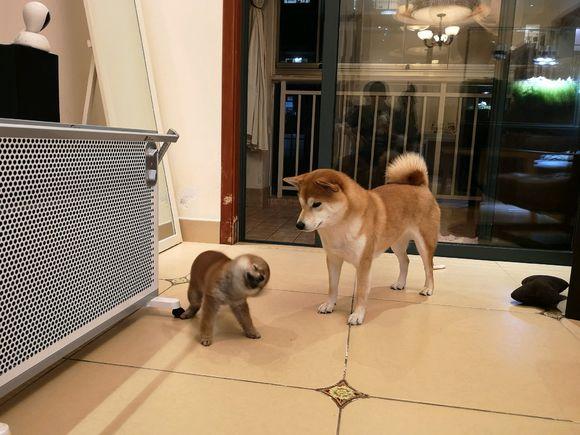自从老二来了之后,柴犬的责任就大了,它得照顾老二