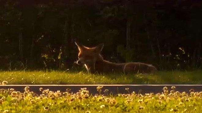德国总理府的超级明星竟是一只狐狸,独特魅力,引行人驻足观看