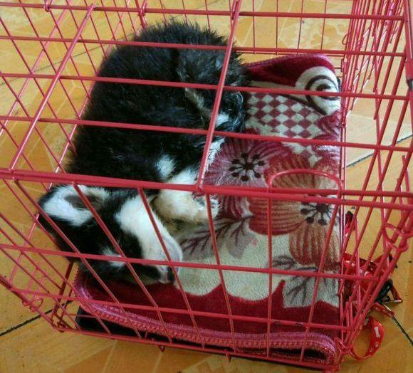 阿拉斯加睡觉时总喜欢钻缝儿,这么睡有安全感!