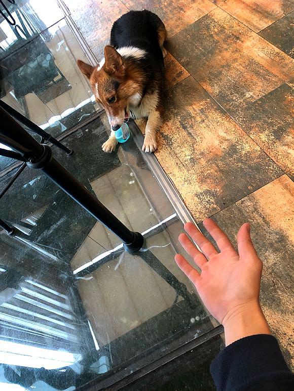 捡了一只流浪狗,带回家之后才知道是柯基,网友:赚了!