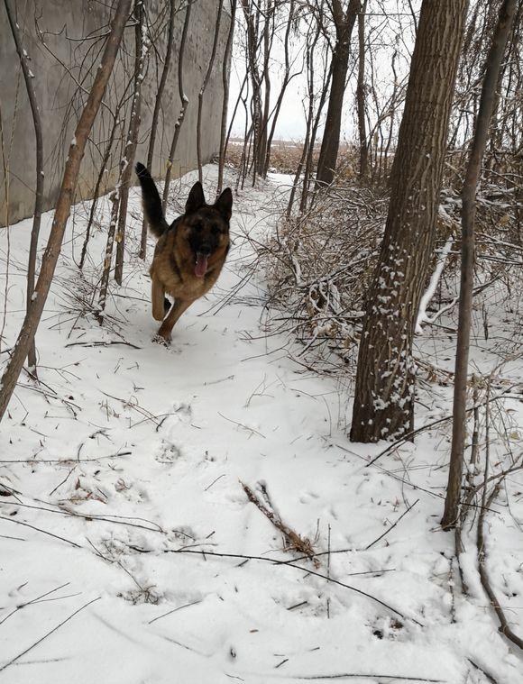 趁着雪还没化完,带着德牧出来撒撒欢,真是勇猛的狗狗!