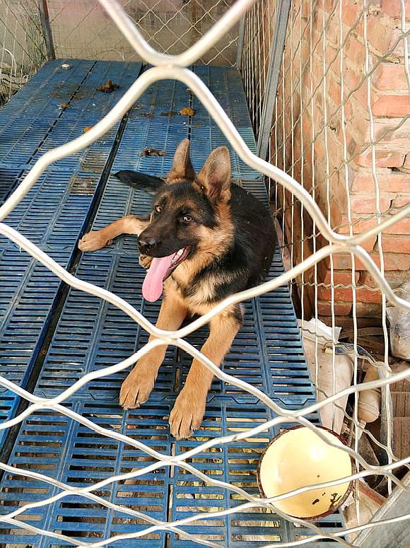 狗狗被关着影响长个?这只德牧都五个月了,才这么大