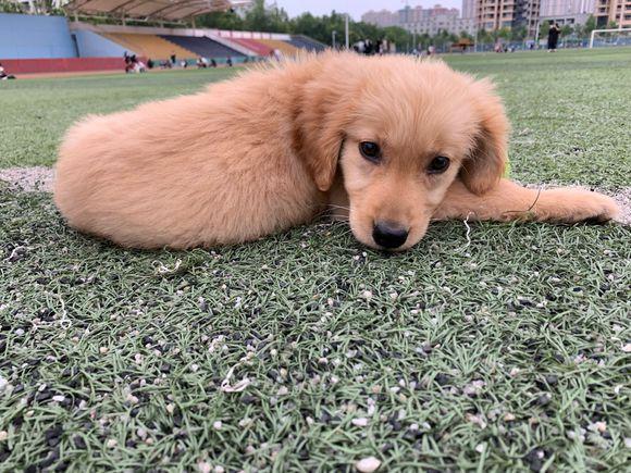 金毛出来训练,它的嘴太小咬不住球,捡球的时候有些费劲儿