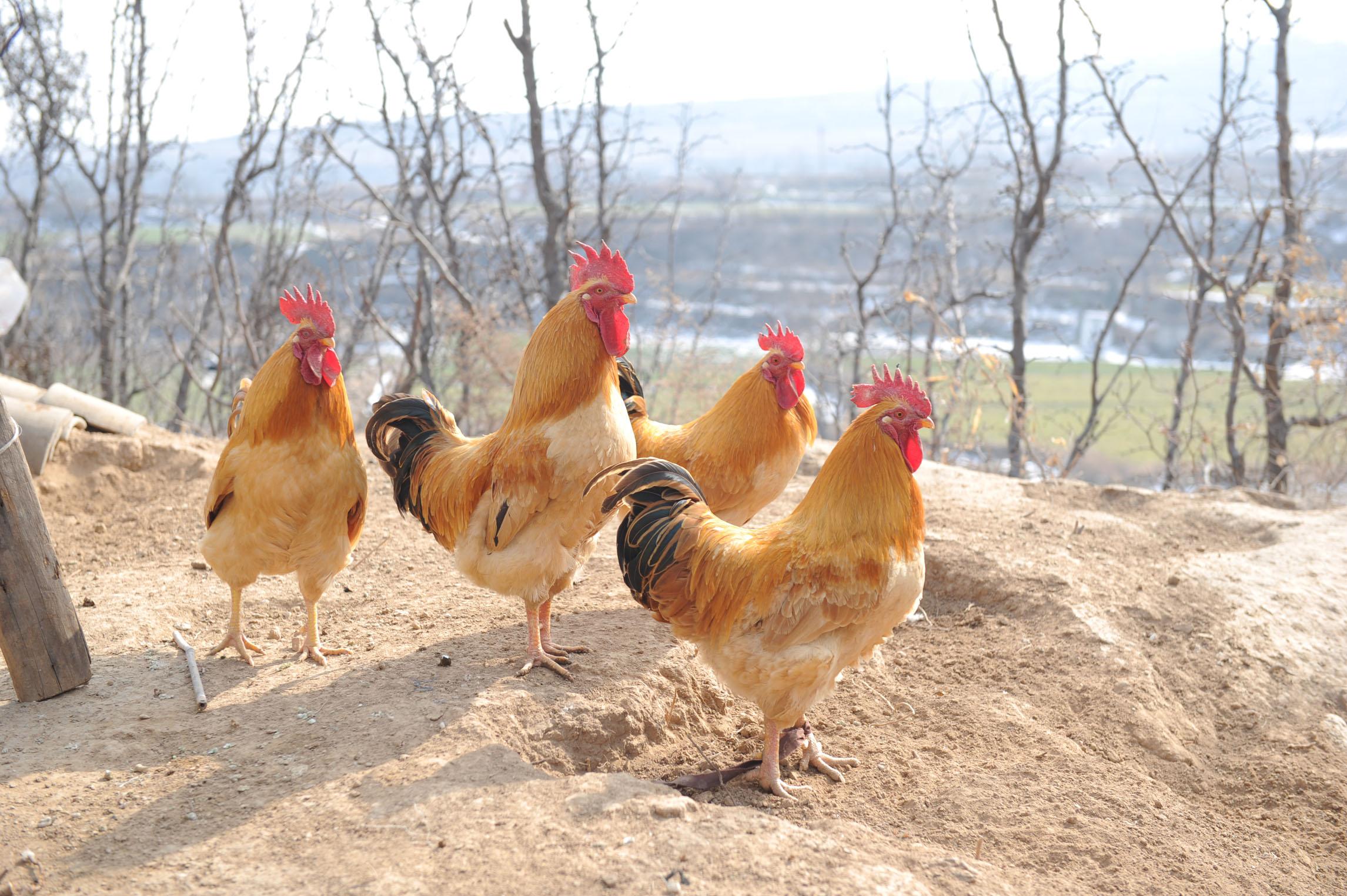 993年属鸡的命里有两大劫