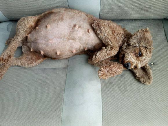 泰迪现在怀孕了40天,肚子已经这么大了,它能生几只呢?
