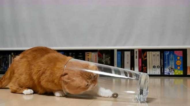 胖橘猫发现杯子里有粒猫粮,费了好大劲才吃到,换成瘦猫早拿到了