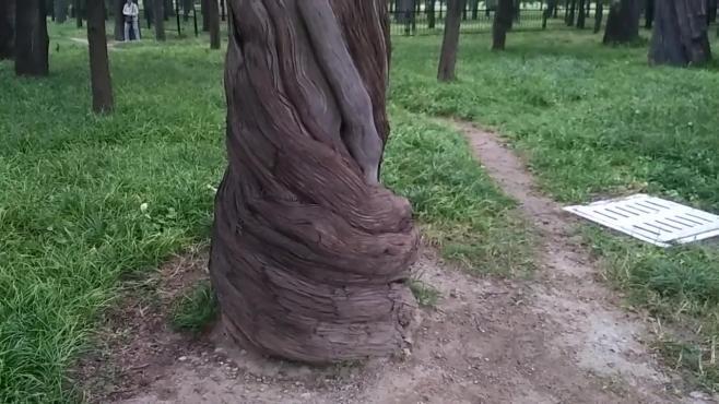 天坛公园历史悠久,但里面的古树你知道有多久远吗?