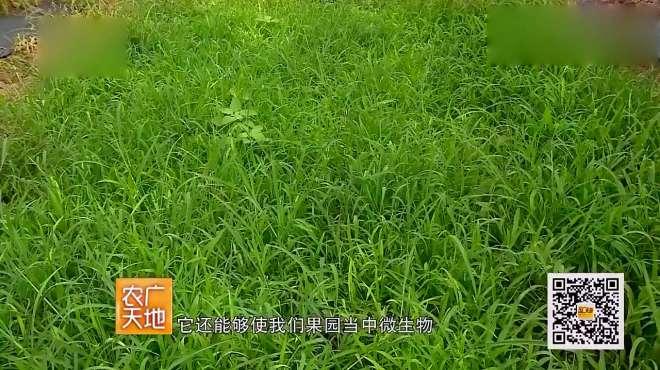 农广天地:苹果三优一体化栽培模式,果园如何除草与管理?