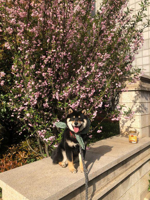 门外的樱花开了,网友带柴犬去摆拍美照,柴犬:开心!