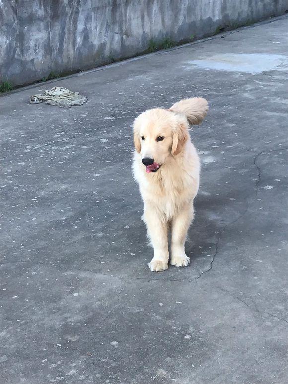 金毛跑出去捡了根骨头回来,它特别高兴,手舞足蹈的
