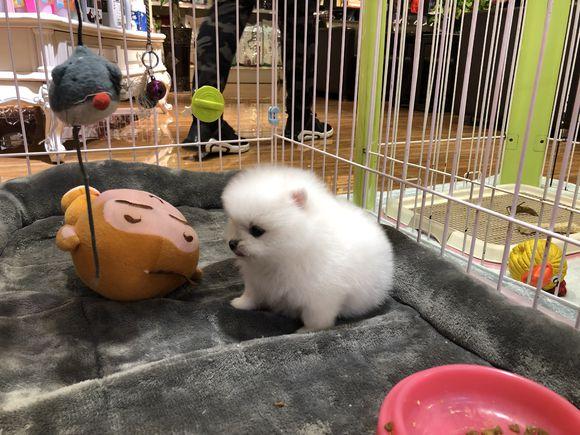 网友刚买了一只博美,感觉它眼睛很小,博美:就这样!