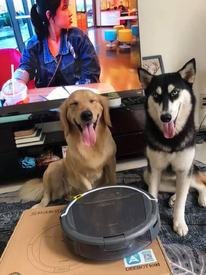 网友给狗狗照相,金毛发现和二哈同框后,立刻就要躲