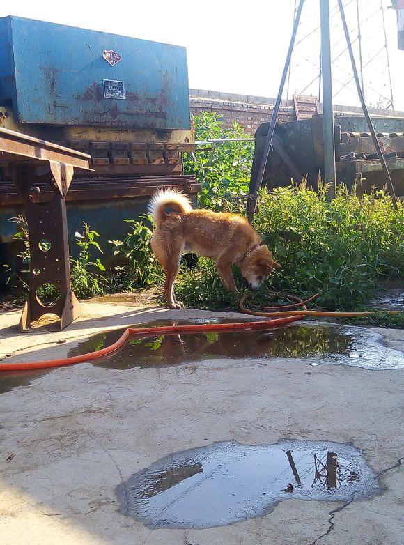 土狗正在玩,关在笼子里的狗狗叫嚣,它一点儿都不怂