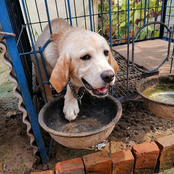 被关在笼子里的狗子不老实,它想从里边出来,狗:铲屎的锁我喉了