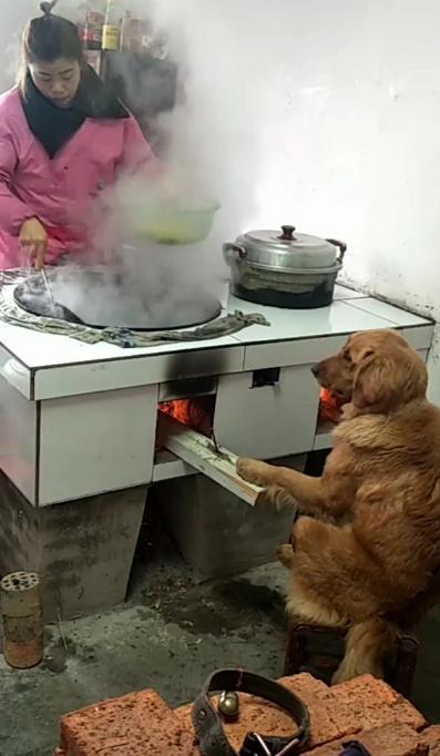 金毛看到妈妈在做饭,过来帮忙添柴烧火,顺便烤个火