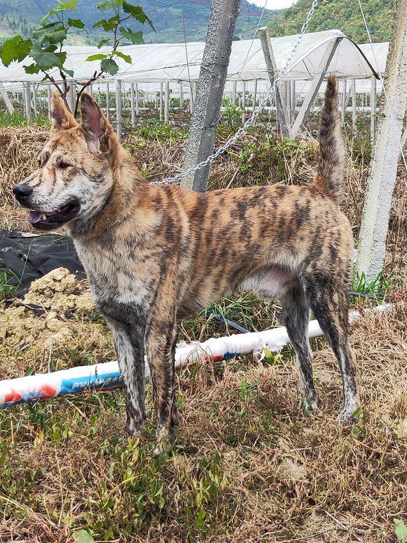 这只中华田园犬的真好看,这花纹基因能传给下一代就好了!