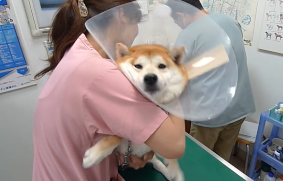 带柴犬去打疫苗,三名医生才能完成,宠主却在一边看着