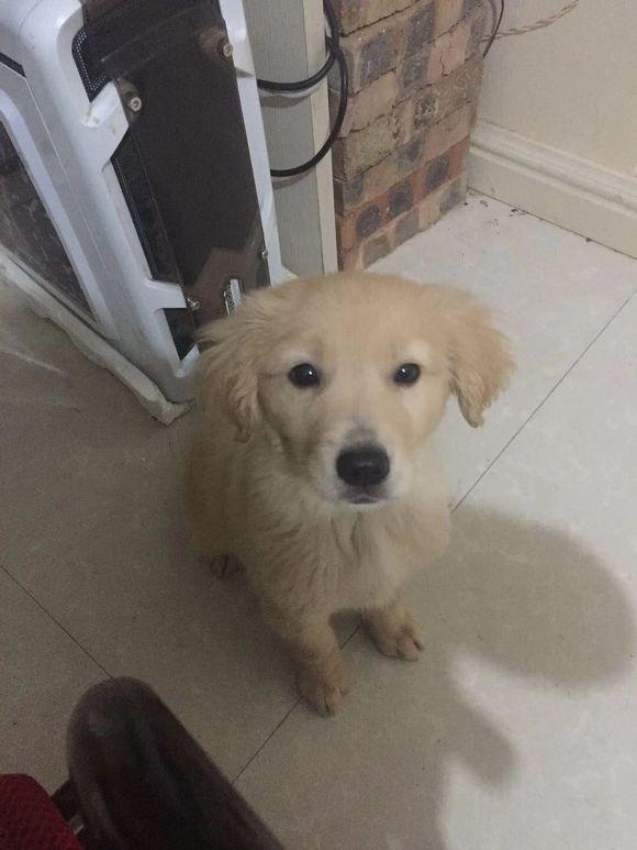 金毛耳朵长得挺大,就是不长个,5个月了才这么大!