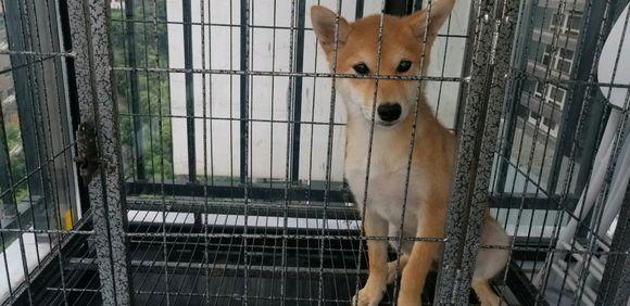柴犬一直被关在笼子里,它心里到底会想些什么呢?