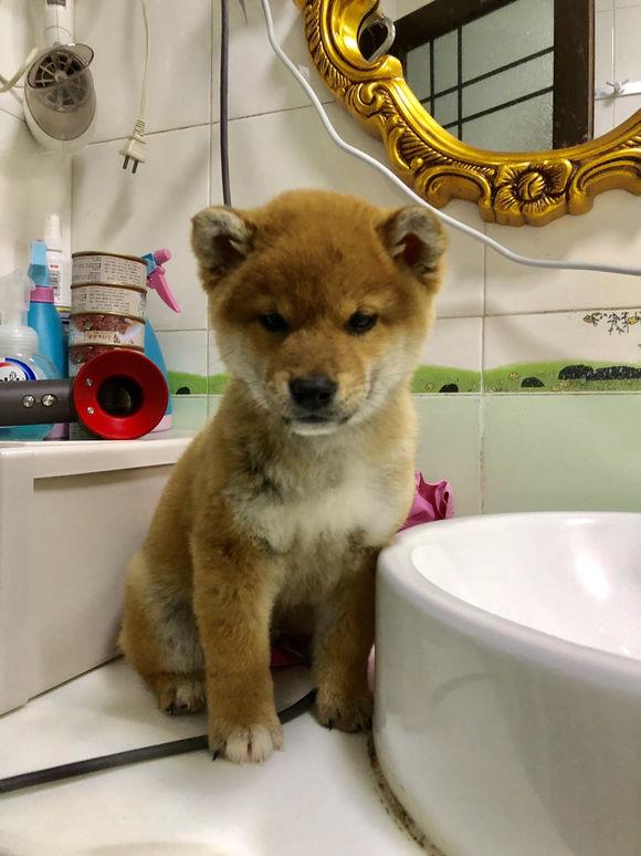 柴犬洗澡前后判若两狗,洗完后跟从泥潭里刚捞出来似的