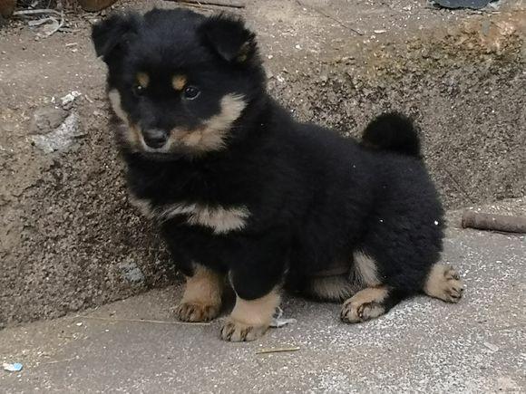 捡到一只小狗,一直以为是只德牧,养了段时间才知道并不是