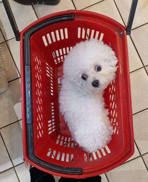 网友带着比熊犬逛超市,比熊犬:一会儿要去洗澡!