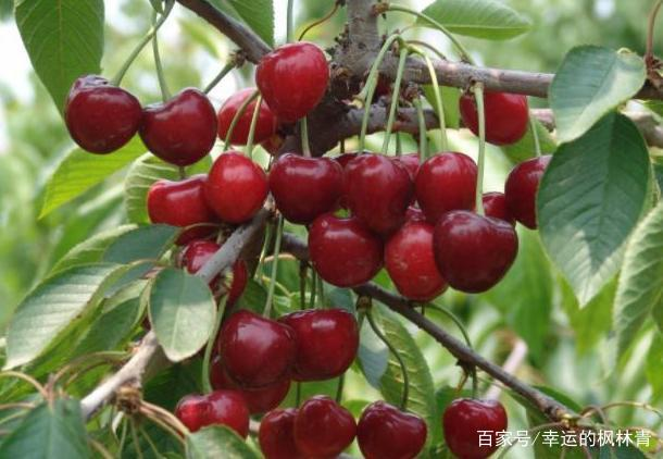大樱桃的栽培技术