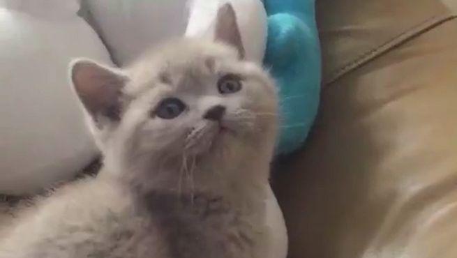 英短丁香色小猫咪