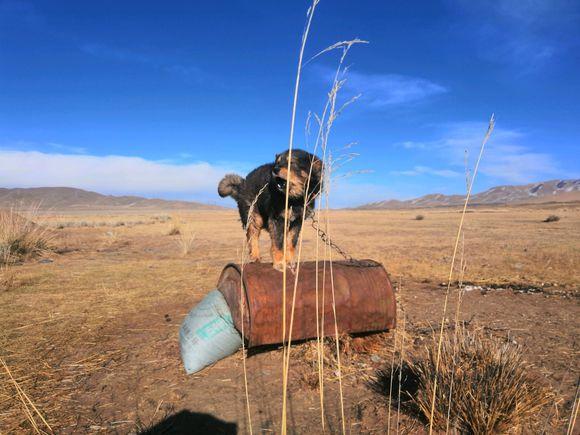 在青海遇到这么一只看门狗,这里人迹罕至,它却还被拴着