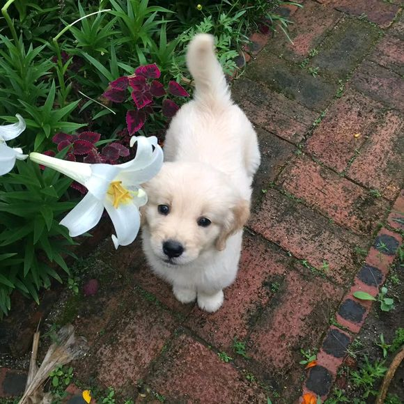 """金毛有一颗""""少女心"""",它很喜欢家里的花,总是往里钻"""