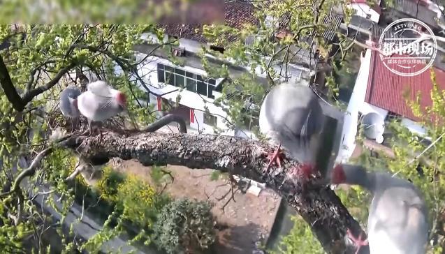 稀奇!4只朱鹮为夺巢,展开激战8分钟,喜鹊在一旁看热闹