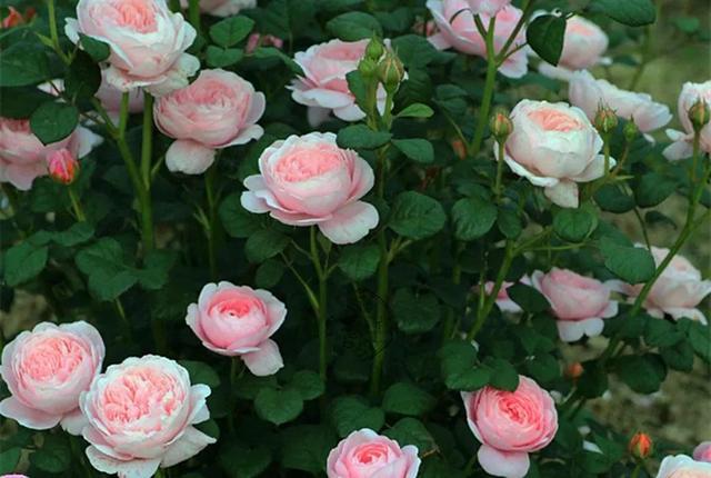 养了几年的瑞典女王月季没开花是为什么?