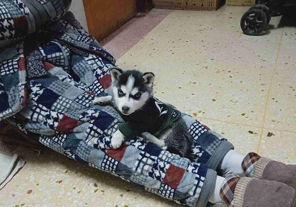 """网友经常把二哈放在腿上,二哈以为这是它的""""新年狗窝"""""""