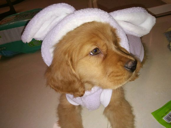金毛得了狗瘟,给它治病投入了太多精力,最终还是没救了它