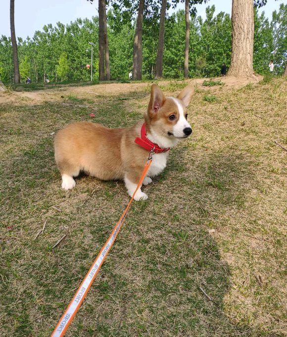 """柯基在公园遇到一只小鹿犬,它对柯基""""一见钟情""""!"""