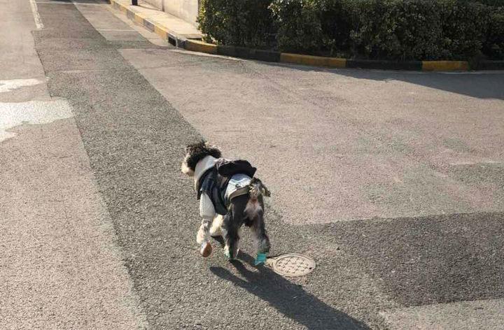 """雪纳瑞很喜欢交朋友,看到其他狗狗就""""搭讪"""",还要一起玩"""