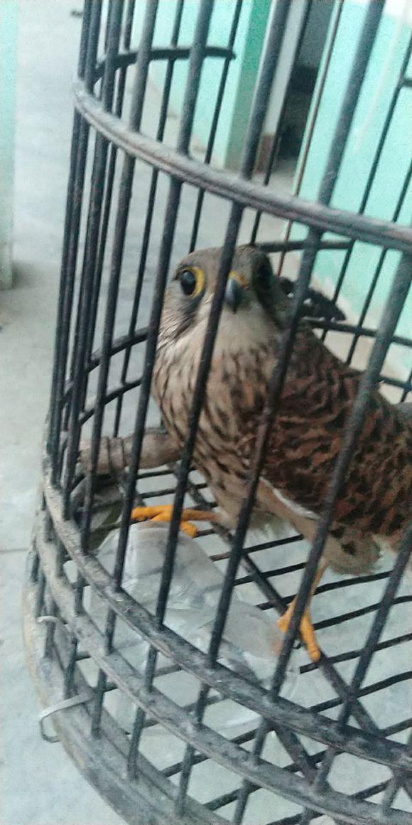 路边捡到一只大鸟,它受伤飞不起来了,一查才知道是珍稀动物