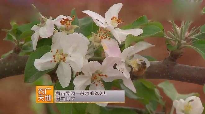 《农广天地》苹果三优一体化栽培模式,这样管理,可以增加产量!