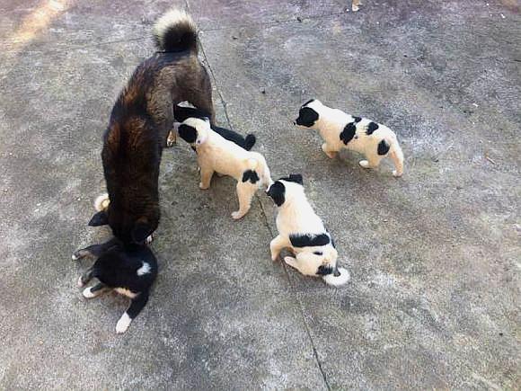 土狗刚刚生了一窝小狗就被预定完了,自己都没能留一只