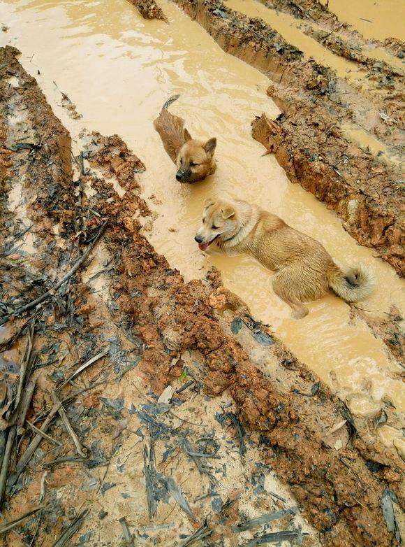 两只土狗都喜欢水,它们经常下河抓鱼,抓回家的鱼都给炖了