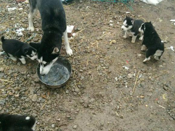 二哈和自己的孩子抢饭吃,小狗们抢不过,只能饿着肚子找主人